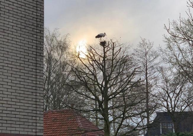 Ooievaar strijkt neer in Oude Dorp Amstelveen